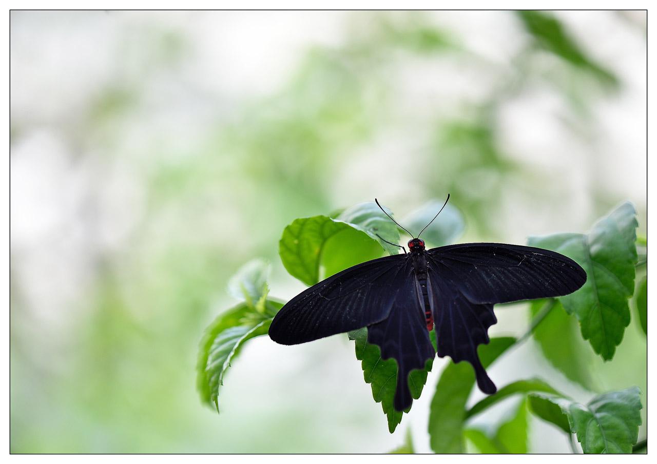 13 / 06 / 2015 - Remerchen / papillons à Grevenmacher  Photos D4S_6508